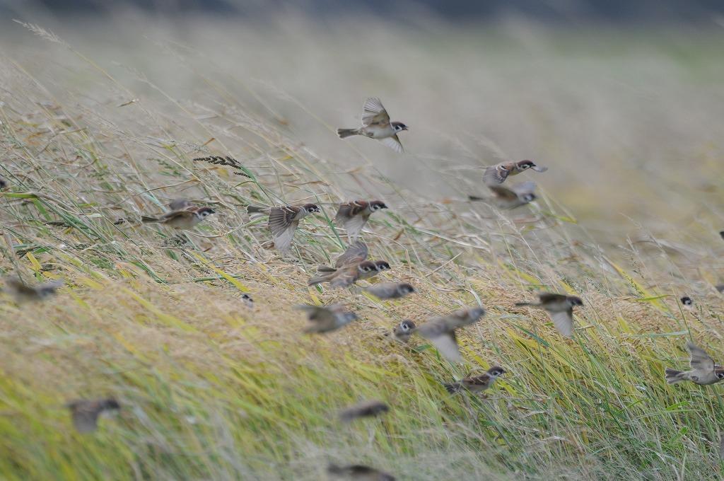 スズメの群れ