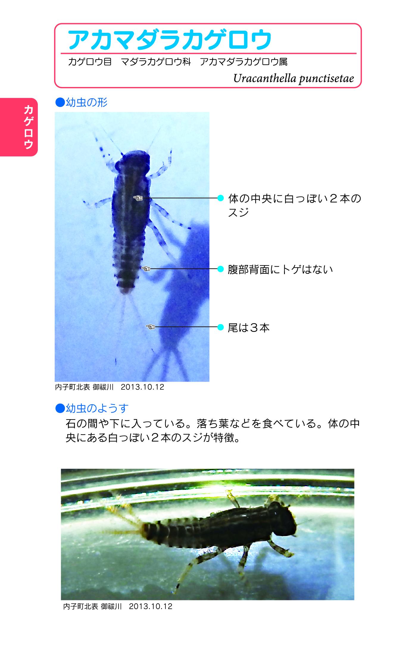 01-090-アカマダラカゲロウ