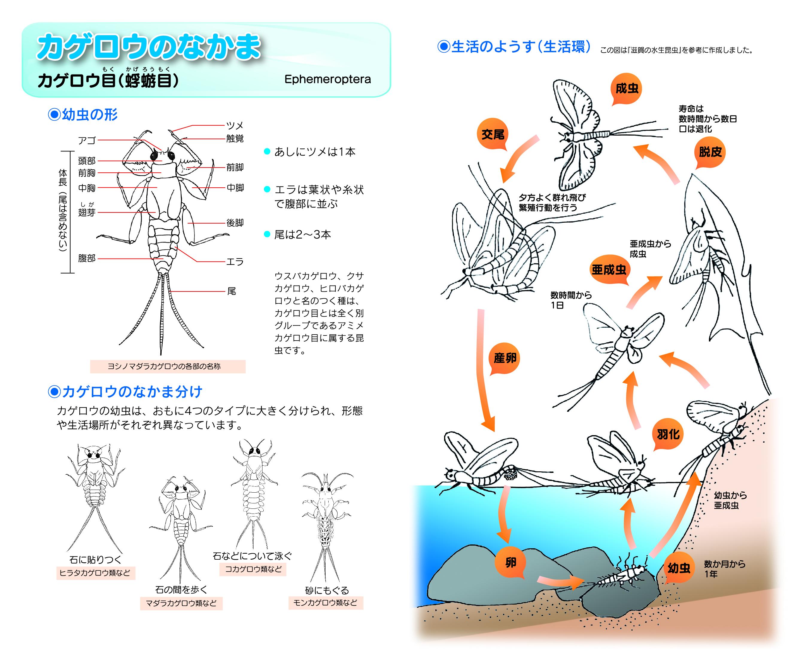 01-000-カゲロウのなかま 幼虫の形や生活のようす