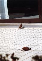 ガラスバリア・野鳥激突
