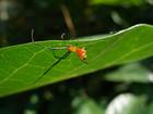 アカイソウロウグモ